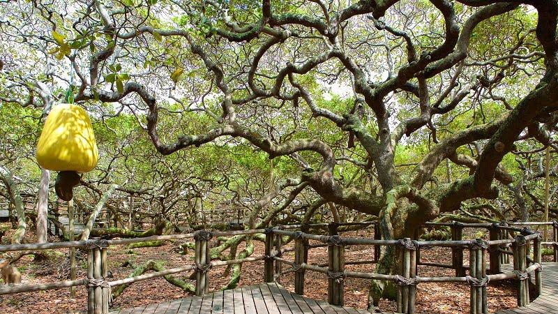 Hình ảnh rừng trồng điều được quy hoạch quản lý và khai thác bài bản